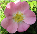SJ7965 : Flower of the Dog Rose by Seo Mise