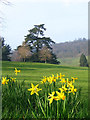 TQ4551 : Daffodils at Chartwell by Stephen Craven