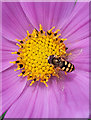 SS9769 : A Hover Fly on Cosmos flower : Week 29