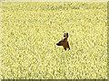 NO5649 : Roe deer in cornfield : Week 29
