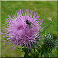 SN7553 : Thistle flower with fly : Week 29