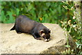 TQ3643 : Polecat at the British Wildlife Centre, Newchapel, Surrey by Peter Trimming