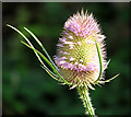TG3022 : Flowering teasel : Week 31