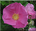SJ7965 : Flower of the Rosa Rugosa by Jonathan Kington