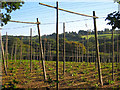 TQ7826 : Hop field at Kitchenham Farm by Oast House Archive
