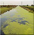 SE9719 : Duckweed on the New River Ancholme : Week 38
