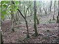 ST5257 : Ubley Wood by Dr Duncan Pepper