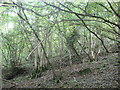 ST5257 : Ubley Wood (2) by Dr Duncan Pepper