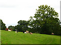 SS9700 : Killerton: cattle by Stephen Craven
