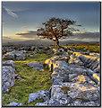 SD8366 : Lone tree at Winskill Stones by Ryland davies