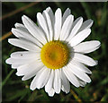 TM3995 : Oxeye daisy flower by Evelyn Simak