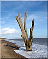 TM5382 : One of many dead trees by Benacre Broad by Evelyn Simak