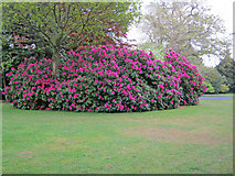 ST9770 : Rhododendron in the arboretum by Trevor Rickard