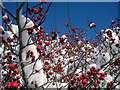 TQ8110 : Snowy Hawthorn Tree by Oast House Archive