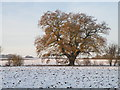 TL1182 : Hedge row Oak tree by Michael Trolove