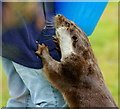 TQ3643 : Otter at the British Wildlife Centre, Newchapel, Surrey : Week 1