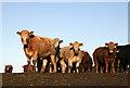 NT5013 : Bullocks on Hardie's Hill, Hawick : Week 2