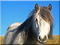 NO0106 : Highland pony : Week 3