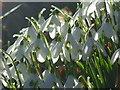 SP0013 : Snowdrops at Colesbourne Park : Week 7