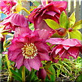 SO6424 : Helleborus x hybridus, Double Hellebore by Jonathan Billinger