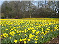 SW7730 : Small daffodil field at Penwarne by Rod Allday