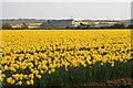 SW6635 : Daffodil field near Whistling Winds Farm by Elizabeth Scott