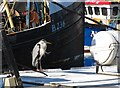 J3114 : A rather unkempt heron resting on a trawler's cabin roof in the Inner Harbour : Week 14