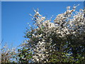 SW9251 : A fine display of blackthorn blossom (Prunus spinosa) by Rod Allday