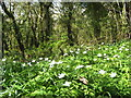 SW9250 : Wood anemones (Anemone nemorosa) on the roadside bank by Rod Allday