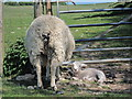 TV5797 : Sheep on bridleway by Oast House Archive
