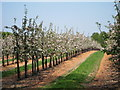 TQ6939 : Orchards off Ruck Lane by Oast House Archive