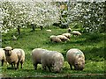 ST4614 : Sheep browsing in The Orchard, Chiselborough : Week 17
