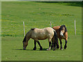 SO8686 : Horses grazing near Gothersley, Staffordshire by Roger  Kidd