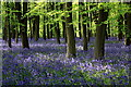 SU2694 : Bluebells, Badbury Clump by Rob Noble