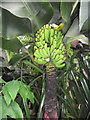 SX0455 : Bananas! Eden Project by nick macneill