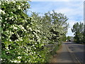 SP3178 : Beechwood Avenue and hawthorn blossom by E Gammie