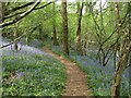 SX6859 : Bluebells in Lady's Wood by Derek Harper