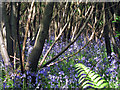 TQ9034 : Bluebells at Great Piper Wood : Week 18