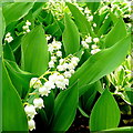 SO6424 : Convallaria majalis, Lily of the Valley by Jonathan Billinger