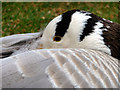 TQ1877 : Bar Headed Goose, Kew Gardens by Christine Matthews