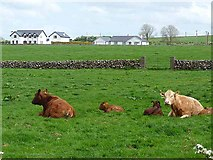 M2171 : Cattle and houses at Knocknadrimna by Oliver Dixon