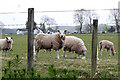 NN9410 : Grazing Sheep by Martin Addison
