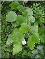 SX9063 : Poplar leaves near Torquay station by Derek Harper