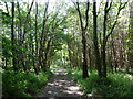SK3576 : Woodland track, Monk Wood by Andrew Hill