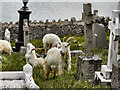 SH7683 : Feral Goats at St Tudno's Churchyard by David Dixon