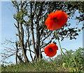 SE8802 : Two poppies : Week 21