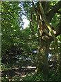 TQ5309 : Pond, Pollards Wood by Simon Carey