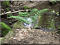 SJ8959 : Fern by the stream by Jonathan Kington