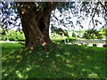 ST7136 : Yew tree in the churchyard, South Brewham by Miss Steel
