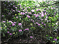SJ9059 : Rhododendron bush by Jonathan Kington